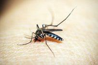 metodo wolbachia dengue
